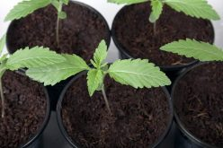 The Most Effective And Powerful Ways To Transplant Cannabis